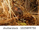 Mouse In Dry Grass On Nature...