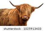 Scottish Cow On White...