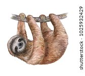 Watercolor Sloth Illustration....