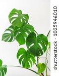 monstera plant on white   Shutterstock . vector #1025946010