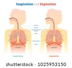 inspiration and expiration... | Shutterstock .eps vector #1025953150