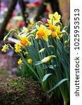 Daffodils. Field Of Daffodils....
