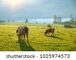 cows grazing on a green lush... | Shutterstock . vector #1025974573