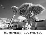 old dragon trees  dracena draco ... | Shutterstock . vector #1025987680