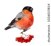 bullfinch sits on a branch with ... | Shutterstock . vector #1026015814