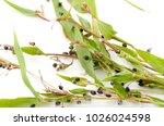 job's tears   coix lachryma... | Shutterstock . vector #1026024598