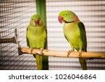 psittacula eupatria in a zoo | Shutterstock . vector #1026046864