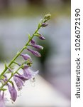 Violet Flowers Of Blooming...