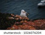 Yellow Legged Seagulls In...