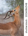 Small photo of closeup of male Common impala, Aepyceros melampus, standing near a bush and nibbling from the leaves