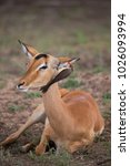 Small photo of female common impala, Aepyceros melampus, and yellow-billed oxpecker, Buphagus africanus, searching for insects, bugs or ticks