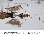 Small photo of Temminck's Stint birds