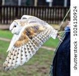 barn owl in flight. tyto alba ... | Shutterstock . vector #1026130924