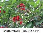Beautiful Red Erythrina Fusca ...