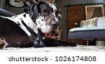 beautiful harlequin great dane...   Shutterstock . vector #1026174808