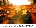 orange maple leaves lying on... | Shutterstock . vector #1026177733