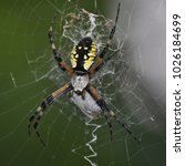 """Small photo of It's lunch time for this yellow garden spider, or """"writing spider"""". It's called so because of its telltale zigzag marking down its web. The purpose of this design is still debated among scientists."""