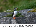 lonelly atlantic puffin... | Shutterstock . vector #1026230308