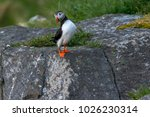 lonelly atlantic puffin... | Shutterstock . vector #1026230314