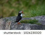 solitary atlantic puffin... | Shutterstock . vector #1026230320
