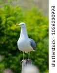 Yellow Legged Seagull Perched...