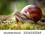 Stock photo helix pomatia also roman snail burgundy snail edible snail or escargot is a species of large 1026233269