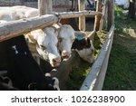 Cows Moo On The Farm.