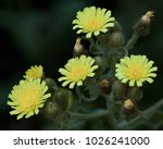 Small photo of Macro photography of a wild flower (Andryala integrifolia)