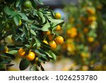 calamondin  citrofortunella... | Shutterstock . vector #1026253780