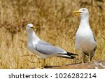 Pair Of Yellow Legged Seagulls...