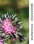 Small photo of Macro view from above of the Caucasian white-gray striped hymenoptera Megachile rotundata collecting nectar on the light-purple inflorescence of the inflorescence of the burdock Arctium lappa