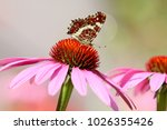 map  butterfly  nymphalidae | Shutterstock . vector #1026355426