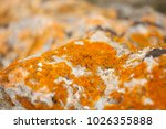Small photo of Mustard yellow Caloplaca lichen on a rock close up.