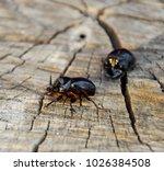 a rhinoceros beetle on a cut of ... | Shutterstock . vector #1026384508