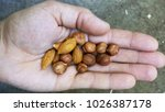 Small photo of Nuts on the palm of the hand manal hazelnut sveje and ripe very useful for health are full of vitamins