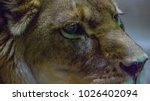 close up on lion eyes wild... | Shutterstock . vector #1026402094