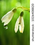 Small photo of Snowdrop Galanthus flowers with water drops, dew.On spring bokeh background.Spring background.Cocnept spring.Copy space