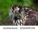 Macro Of Hawk Or Buzzard....