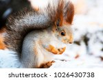 fox squirrel looks thoughtfully ... | Shutterstock . vector #1026430738