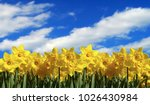 daffodil countryside background