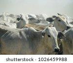 closeup of cattle herding along ... | Shutterstock . vector #1026459988