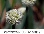 blooming onion plant in garden. ...