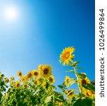 beautiful sunflowers blooming...   Shutterstock . vector #1026499864
