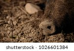 swine nose lying in the sand | Shutterstock . vector #1026601384