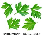 parsley herb. macro shot of... | Shutterstock . vector #1026670330