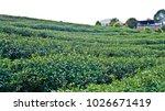 tea plantation in chiang rai ... | Shutterstock . vector #1026671419