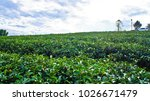 tea plantation in chiang rai ... | Shutterstock . vector #1026671479