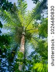 beauty of the royal palm tree... | Shutterstock . vector #1026680830