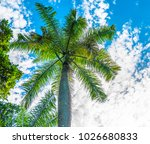 beauty of the royal palm tree... | Shutterstock . vector #1026680833