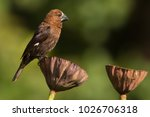 Male Thick Billed Weaver Uses...